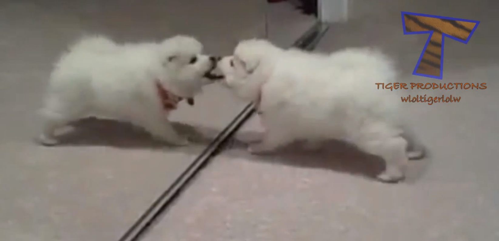dog sees itself in a mirror